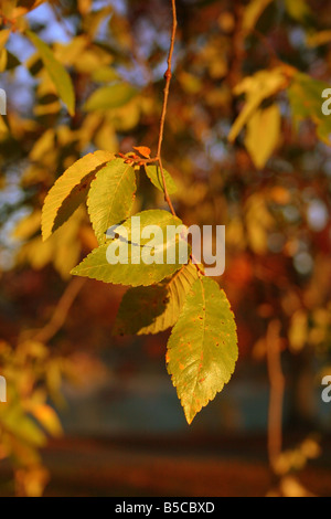 Morning light and fall color on the end of a tree branch in Piedmont Park, Atlanta Georgia - Stock Image