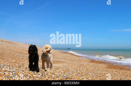 Poodle friends on Walmer Beach - Stock Image