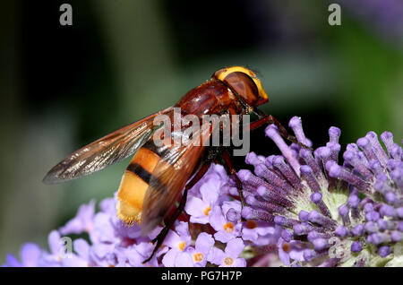European Hornet mimic hoverfly (Volucella zonaria). - Stock Image