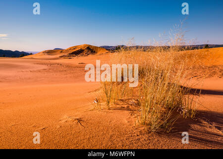 Hummocks, clumps of giant sandreed (Calamovilfa gigantea) grass at dunes, sunrise, Coral Pink Sand Dunes State Park, - Stock Image