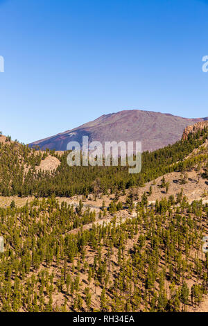 Canarian pine forest on the slopes of the crater rim and the Pico Viejo in the Las Canadas del Teide national Park, Tenerife, Canary Islands, Spain - Stock Image
