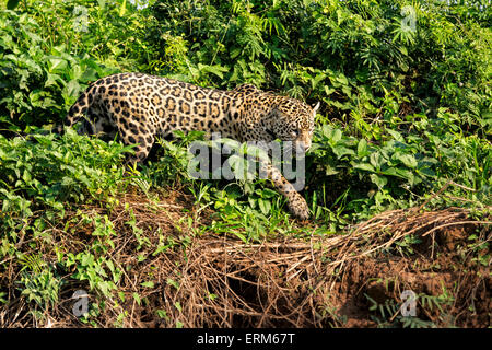 Side View of a female Jaguar, Panthera onca, hunting along a river bank in the Pantanal, Mato Grosso, Brazil, South - Stock Image