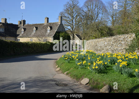 Daffodils in flower on the roadside in the Cotswold village of Swinbrook near Burford - Stock Image