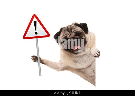 smiling pug puppy dog holding up red warning, attention traffic sign, isolated on white background - Stock Image