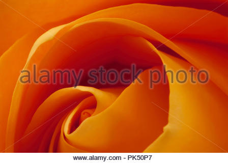 Great close up of a beautiful yellow rose - Stock Image