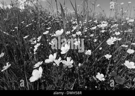 Buttercup flowers (Ranunculus) blooming in a meadow in spring. Black and white photograph. - Stock Image