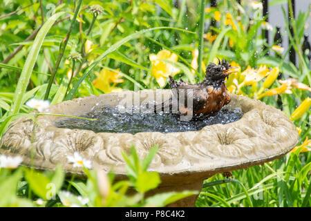 A soaking wet American Robin, Turdus migratorius, splashing in a bird bath in a garden in Speculator, NY USA - Stock Image