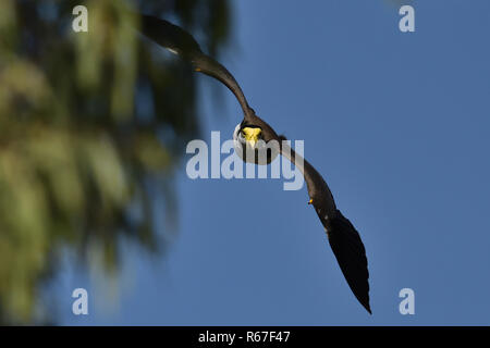 An Australian, Queensland Masked Lapwing ( Vanellus miles ) swooping down from behind a tree - Stock Image