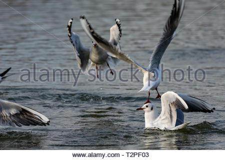 Black headed gulls (Chroicocephalus ridibundus) diving into water - Stock Image