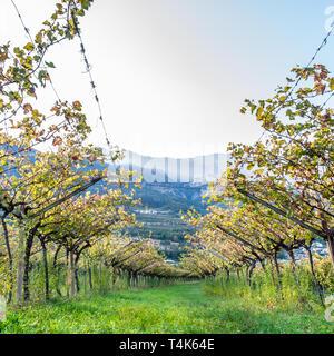 Squared image of Italian vineyard in the sun. Garda Lake wine. Grappa vines. Italy - Stock Image