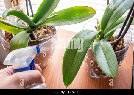 Man hand sprays Phalaenopsis orchid leaves with water and fresh dew on leaves. Mist orchid at home.  Botanical and house flowers concept. Close up - Stock Image