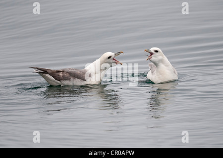 Northern fulmar (Fulmarus glacialis) two adults in cackling display on sea. Western Isles, Scotland. May. - Stock Image