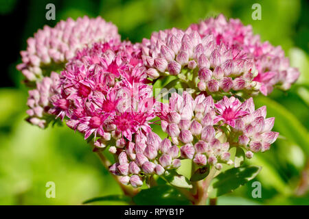 Orpine or Livelong (sedum telephium), close up of a flower head showing flowers and buds. - Stock Image