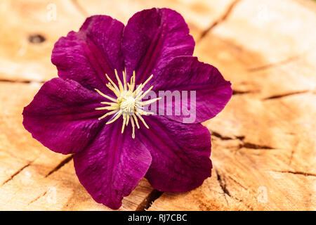 Clematis Blüte, verwitterter Holzuntergrund - Stock Image