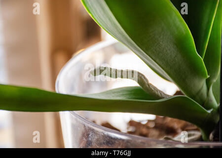 Phalaenopsis orchid aerial root in transparent flower pot with substrate and green leaves at home. Botanical and house flowers concept. Close up - Stock Image