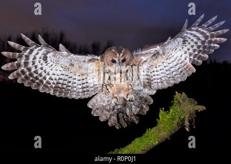 Young Male Tawny Owl (Strix aluco) landing on a mossy branch - Stock Image