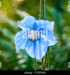 Meconopsis betonicifolia Himalayan blue poppy - Stock Image