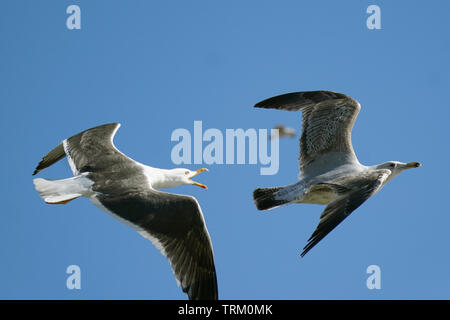 Gulls  at Pier Head Liverpool in Merseyside - Stock Image