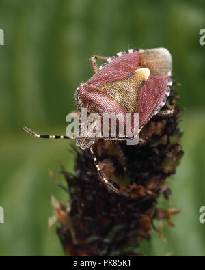 Hairy Shieldbug (Dolycoris baccarum) perched on top of plantain stem. Tipperary, Ireland - Stock Image