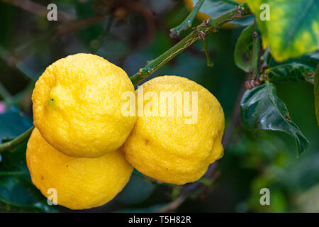 Ripe big yellow lemons, tropical citrus fruits hanging on tree ready to harvest close up - Stock Image
