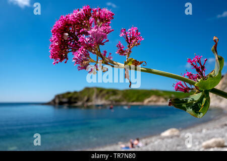 Wild flowers growing at Lulworth Cove Dorset - Stock Image
