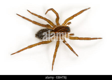 Female Pirata piraticus spider on white background. Family Lycosidae, Wolf spiders. - Stock Image
