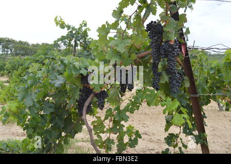 Grapes In Vineyard - Stock Image