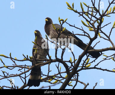A pair of eastern plantain-eaters ( Crinifer zonurus) in a tree in the Entebbe Botanical Gardens. Entebbe, Uganda. - Stock Image