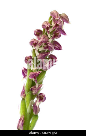 Close up on the flowers of a red and darker form of a wild Dense flowered Orchid inflorescense (Neotinea maculata) isolated over a white background. V - Stock Image