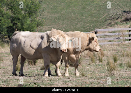 Two white Charolais bulls standing side by side in a dry Australian fenced paddock. - Stock Image