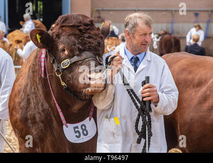 Herdsman with cattle driving stick and Ruby Red Devon bull at the Devon County Show, 2019 - Stock Image