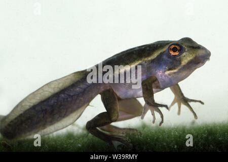 Green & Golden Bell Frog tadpole - Stock Image