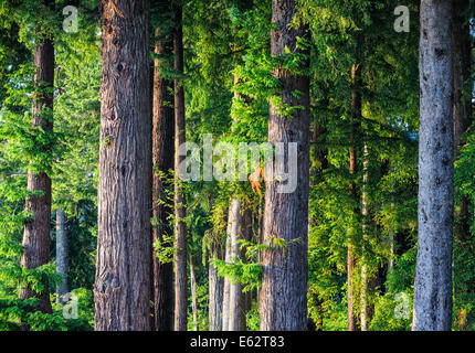 A forest of fir and hemlock trees on Lake Quinault in Olympic National Park in Washington state. - Stock Image