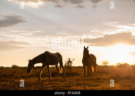 Forses at a ranch in North Pantanal, Brazil - Stock Image
