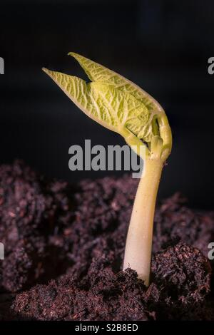 A broad bean sprout. - Stock Image