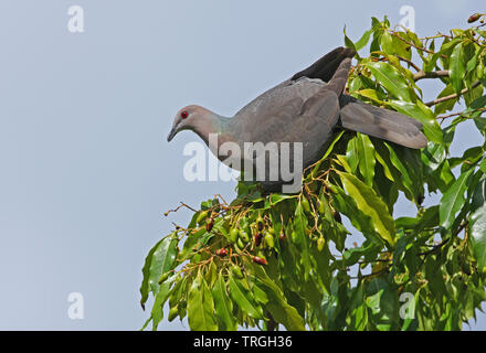 Ring-tailed Pigeon (Patagioenas caribaea) adult feeding on fruiting tree (Jamaican endemic)  Port Antonio, Jamaica            April - Stock Image