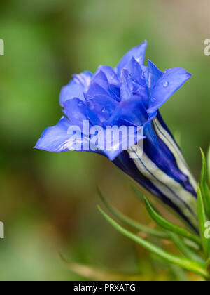 White lined blue double flowers of of the hardy, Autumn blooming alpine perennial gentian, Gentiana sino-ornata 'Eugens Allerbester' - Stock Image