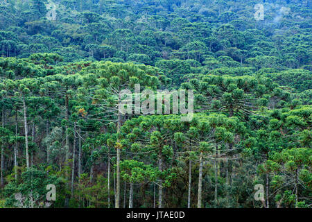 A forest of Parana (Araucaria) pines (Araucaria angustifolia) in the mountains near Sao Paulo, Brazil - Stock Image