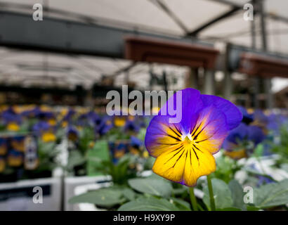 A Viola Morpho flower seen in a UK Garden Centre - Stock Image