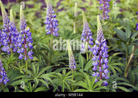 Lupinus - Lupin - June - Stock Image