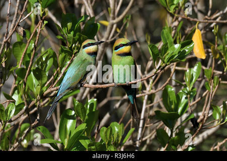 An Australian, Queensland Female and Male Rainbow Bee-eaters ( Merops ornatus ) well camouflaged perched on a tree branch looking for Bees - Stock Image