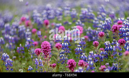 Landscape at North Table Mountain Ecological Preserve, Oroville, California, USA , on a sunny spring day, featuring  Purple Owl's Clover (Castilleja e - Stock Image