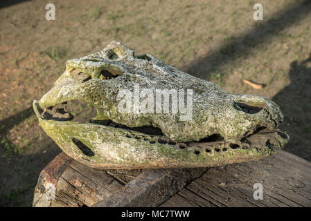 Skull of a crocodile, Korogo Village, Middle Speik, Papua New Guinea - Stock Image
