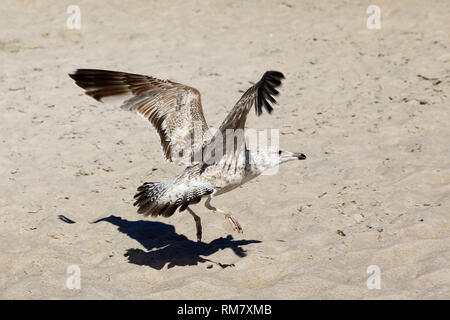 A lonely gull lands on the sandy beach of the Baltic Sea in Kolobrzeg, Poland. - Stock Image