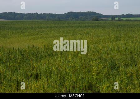 Hemp plant (Cannabis sativa) growing as crop., Industriel hemp 'Cannabis industrialis'. - Stock Image