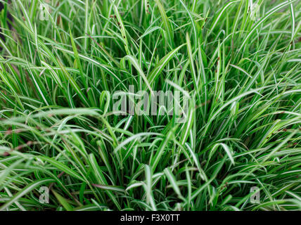 Melica uniflora Variegata close up of plant - Stock Image