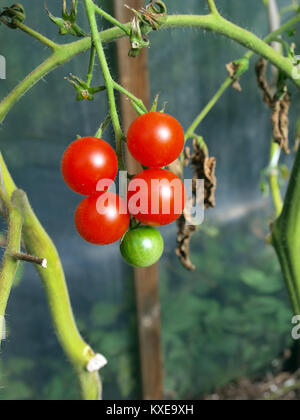 Bunch of ripe and unripe cherry tomato in greenhouse close up - Stock Image
