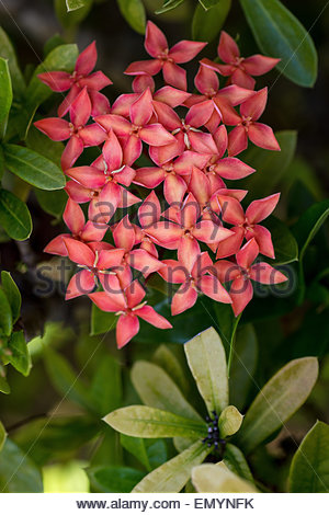 Red Ixora known as jungle geranium, flame of the woods, and jungle flame - native to Southern India and Sri Lanka - Stock Image