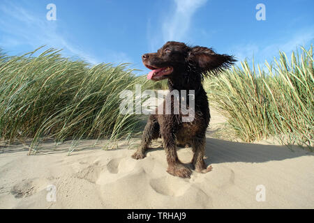 Cocker spaniel in sand dunes in Camber Sands, East Sussex, UK - Stock Image