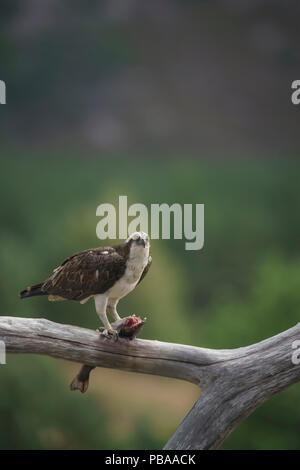 Pandion haliaetus,adult male  perched and eating catch,Highlands of Scotland in mid summer, diffuse background, telephoto lens - Stock Image